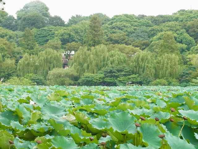 蓮と、樹々の緑がきれい.jpg