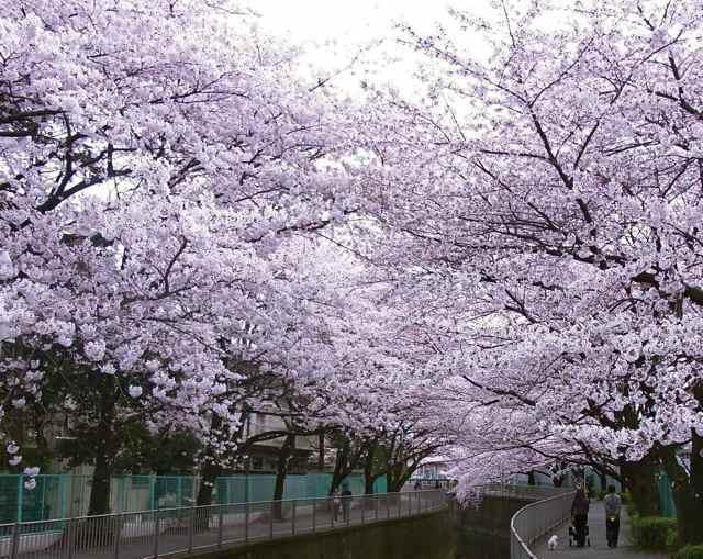 2012年4月7日の、桜.jpg